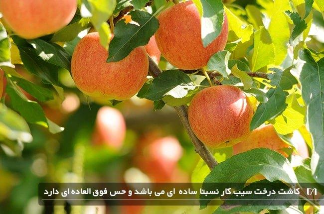کاشت درخت سیب یکی از درختان محبوب می باشد که میوه زیادی خواهد داد