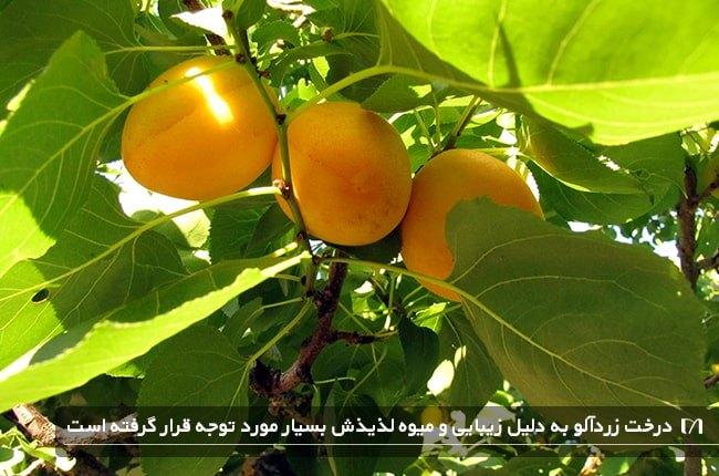 درخت محبوب زردآلو با چند میوه کاملا رسیده و خوش رنگ