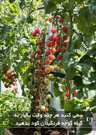 کوددهی به گلدان های کاشت گیاه گوجه فرنگی به طور منظم