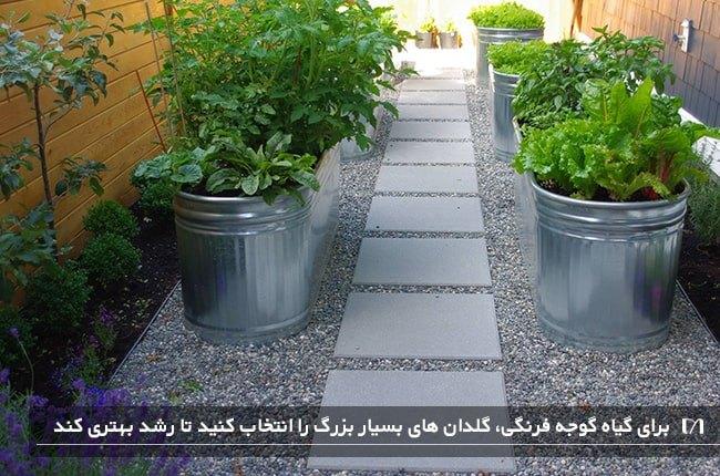 پرورش گیاه گوجه فرنگی در گلدان های بسیار بزرگ و جا دار در حیاط