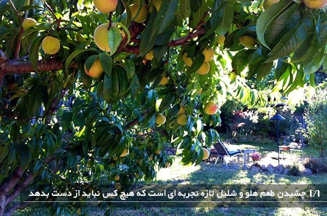 کاشت و پرورش درخت محبوب هلو و شلیل در یک باغ بسیار بزرگ
