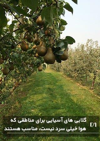 درختان گلابی با محبوبیت فراوان در یک باغ بزرگ کاشته شده اند