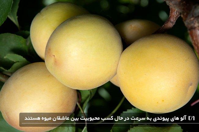 درخت محبوب آلو پیوندی مناسب برای کاشت و نگهداری بسیار ساده است