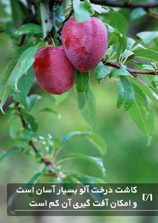 درخت آلو یکی از درختان محبوب برای کاشت و پرورش می باشد