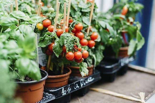 گلدان گوجه فرنگی با گوجه های رسیده قرمز