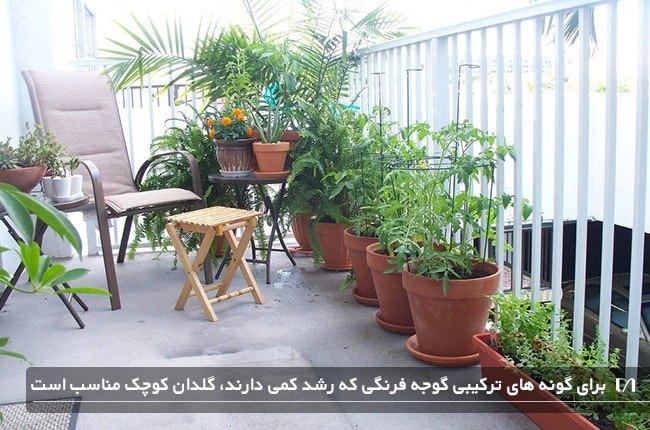پرورش گیاه گوجه فرنگی در بالکن و در گلدان های سفالی کوچک تر