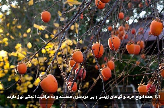 خرمالو یکی از میوه های محبوب می باشد که کاشت درخت آن هم محبوبیت زیادی دارد