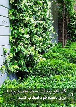 زیبا کردن باغچه با استفاده از گیاهان خوش عطر پیچکی روی زمین