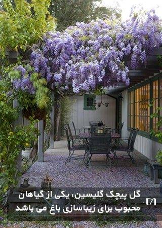 زیباسازی باغچه با استفاده از گیاه پیچکی بسیار زیبا به رنگ بنفش