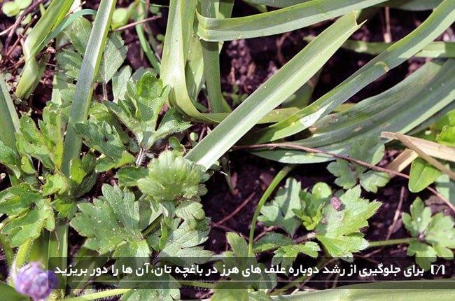 ازبین بردن علف های هرز باغچه با استفاده از روش دور ریختن علف های هرز