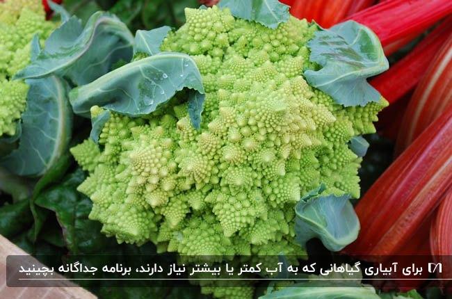 تصویر نوعی گیاه کاشته شده مشابه کلم