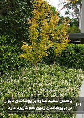 زیبا کردن فضای باغچه با استفاده از گیاهان پیچکی سفید
