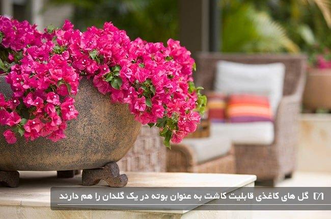 پرورش گیاهان پیچکی کاغذی در گلدان و زیباسازی باغچه