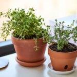 تصویری از کاشت گیاه آویشن در گلدان قهوه ای