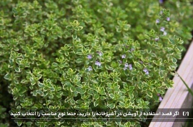 کاشت و پرورش گیاه آویشن در منزل و مراقبت های لازم از آن
