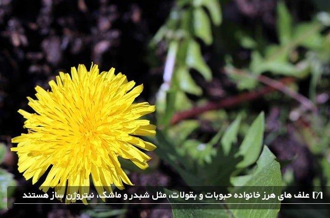 ازبین بردن علف هرز با گل زرد باغچه با استفاده از روش طبیعی