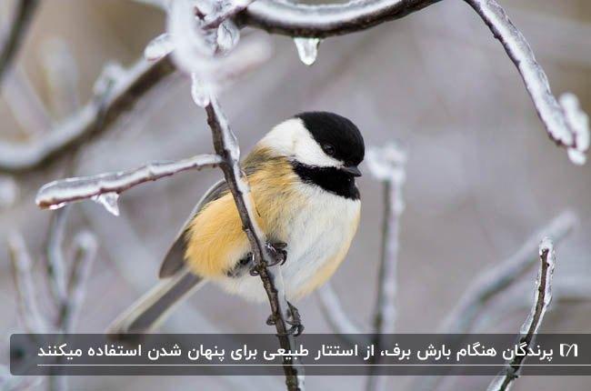 تصویر پرنده ای به رنگ سفید و مشکی و زرد روی ساخه درختان برفی