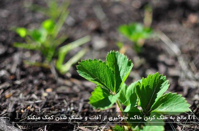 تصویر گیاهی کاشته شده که اطرافش با مالچ پوشیده شده است