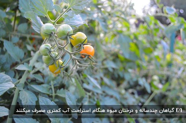 تصویر میوه های نرسیده گیاه گوجه