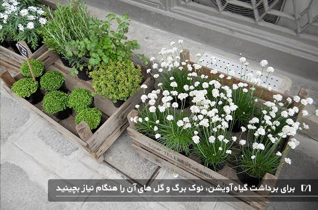 نحوه برداشت و مراقبت های لازم در پرورش گیاه آویشن