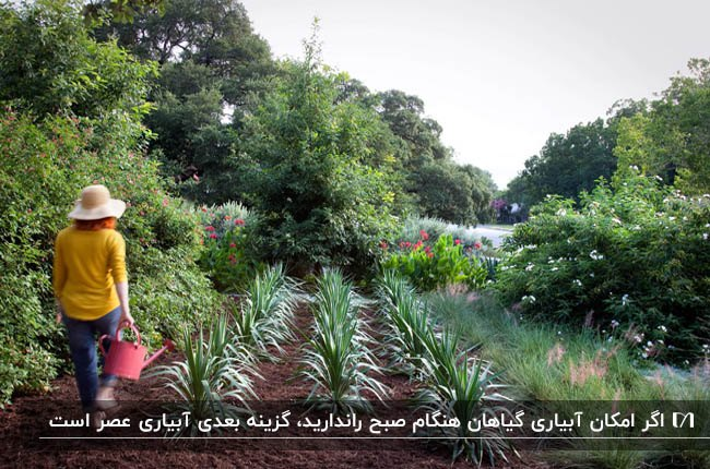 تصویر باغ سبزی با گیاهانی که ردیفی کاشته شده اند و در حال آبیاری هستند