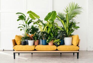 یک مبل سه نفره ی خردلی با تعدادی گلدان و گیاهان آپارتمانی روی آن